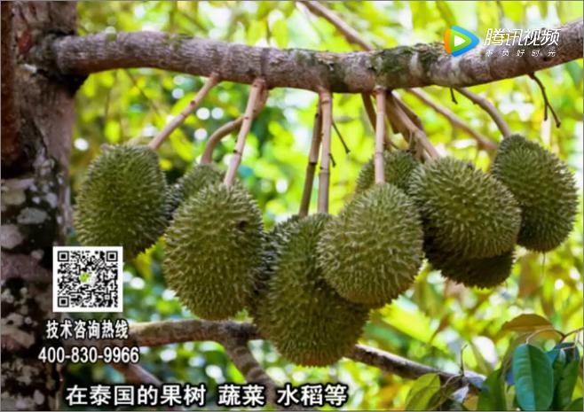 20180212珠江台摇钱树:微补方案提高作物抗病力