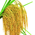 水稻营养方案