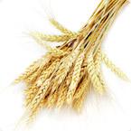 小麦营养方案