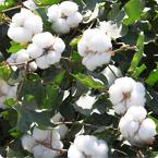 棉花营养方案