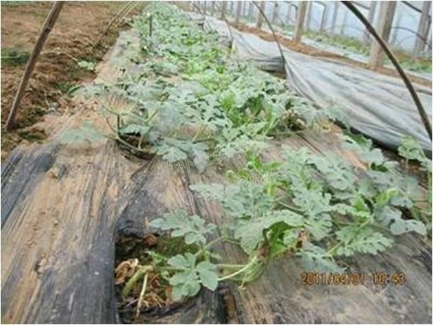 大棚灌溉技术 四川快乐12首页 中国农业信息网
